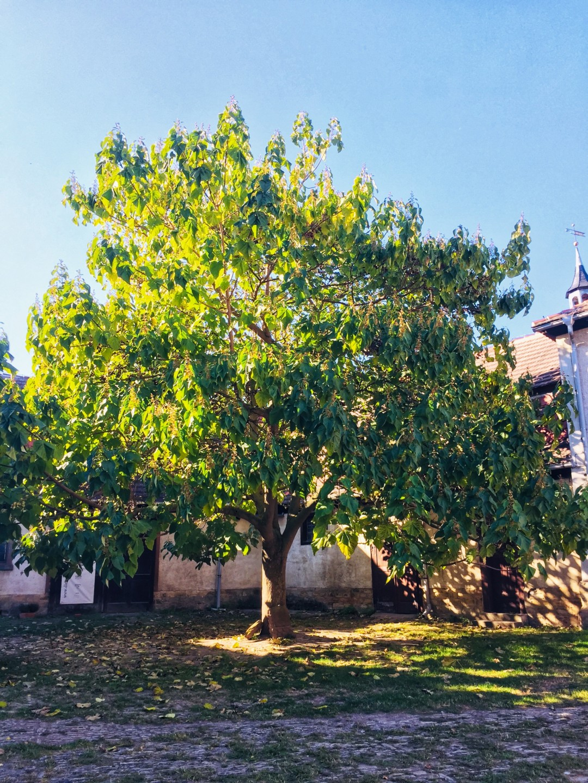 Biergarten unterm Blauglockenbaum